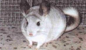 Şinşila-Tavşanı-Nedir