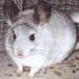 Şinşilla Tavşanının Bakım Ve Beslenmesi