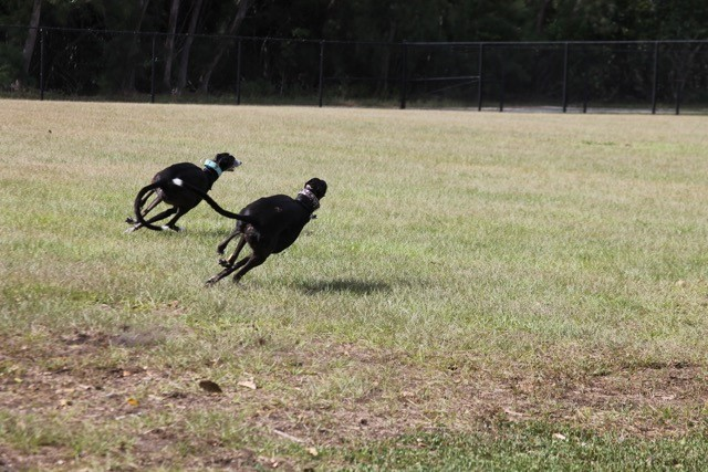 Dusty and Luna in a turn
