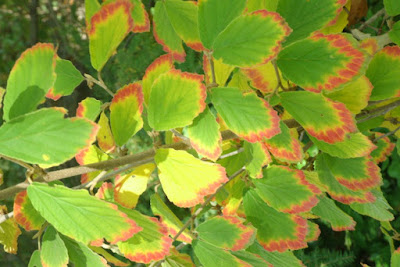 Arnold Promise Hamamelis x intermedia fall foliage by garden muses-not another Toronto gardening blog