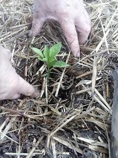 finalizarea plantarii plantelor de ardei capia
