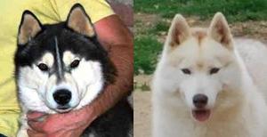 Camada Cachorros Siberian Husky Gonssor Moro y Cynthia de Ciukci