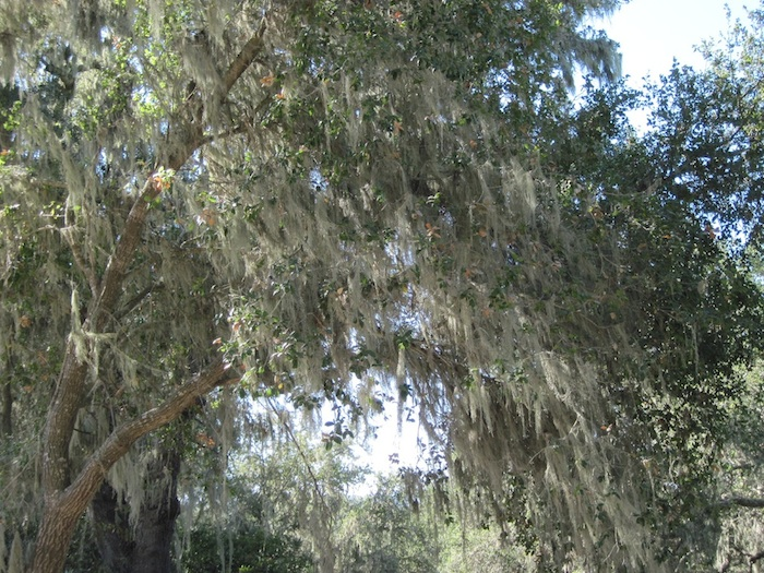 Trees and Spanish Moss Just Go Together in the North County