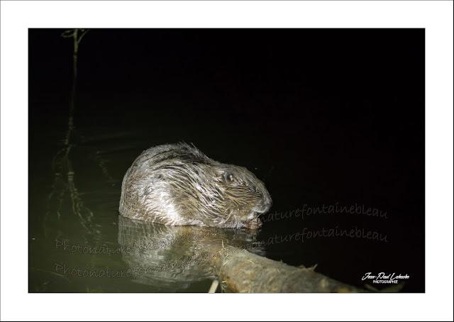 castor-européen-photo-jean-paul-lahache-copie-non-autorisé