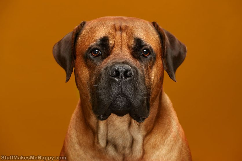 16. Samson - a serious and vigilant South African Boerboel