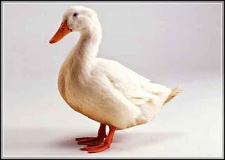 34 Foto  Gambar Bebek yang Lucu dan Menggemaskan
