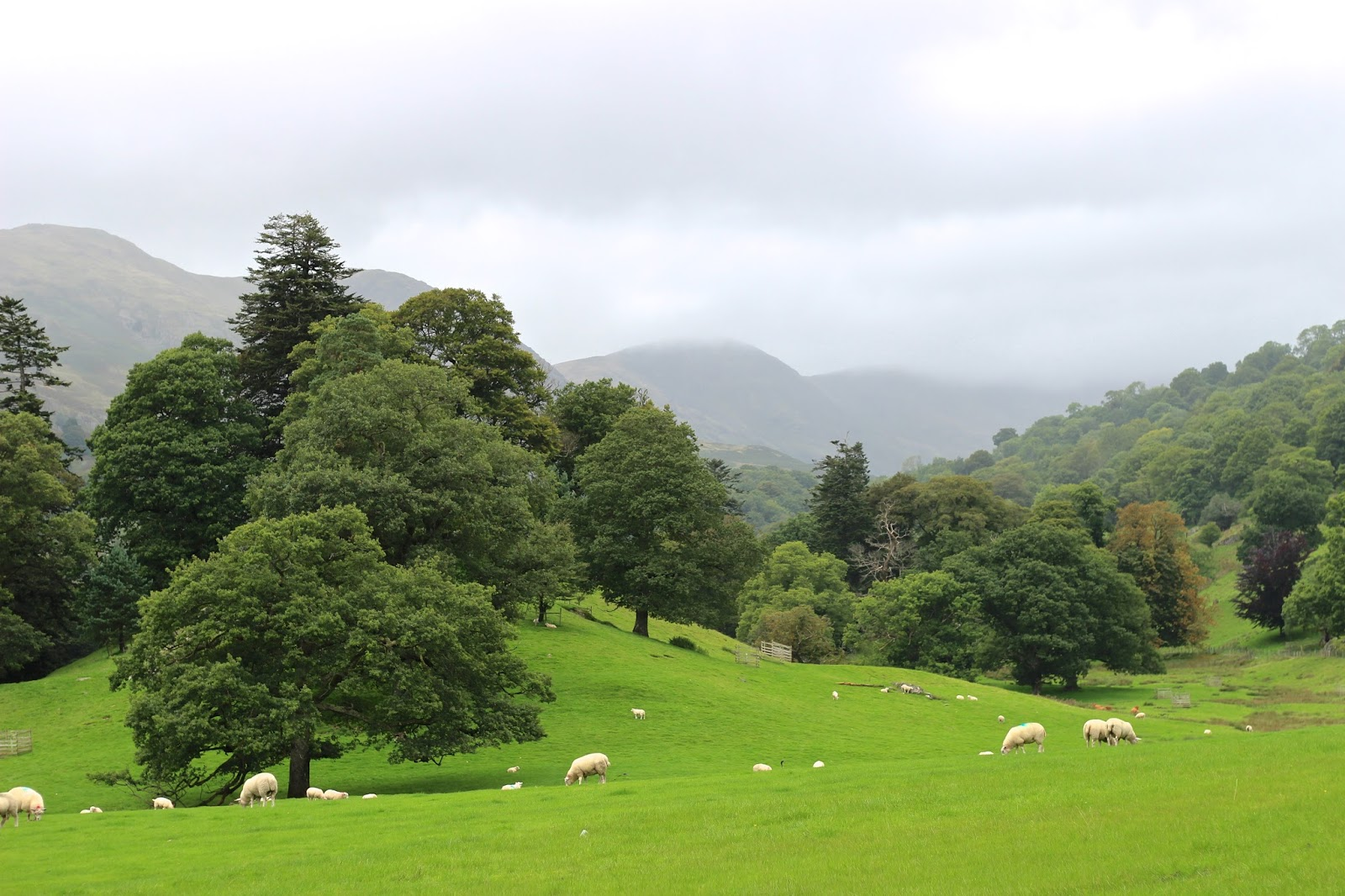 Field of sheep on rolling hills in the Lake District