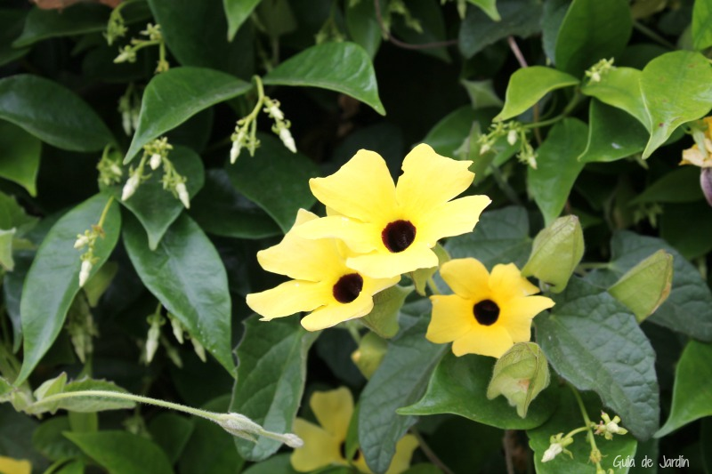 Tunberghia alata y falso jazmín (Trachelospermum jasminoides)