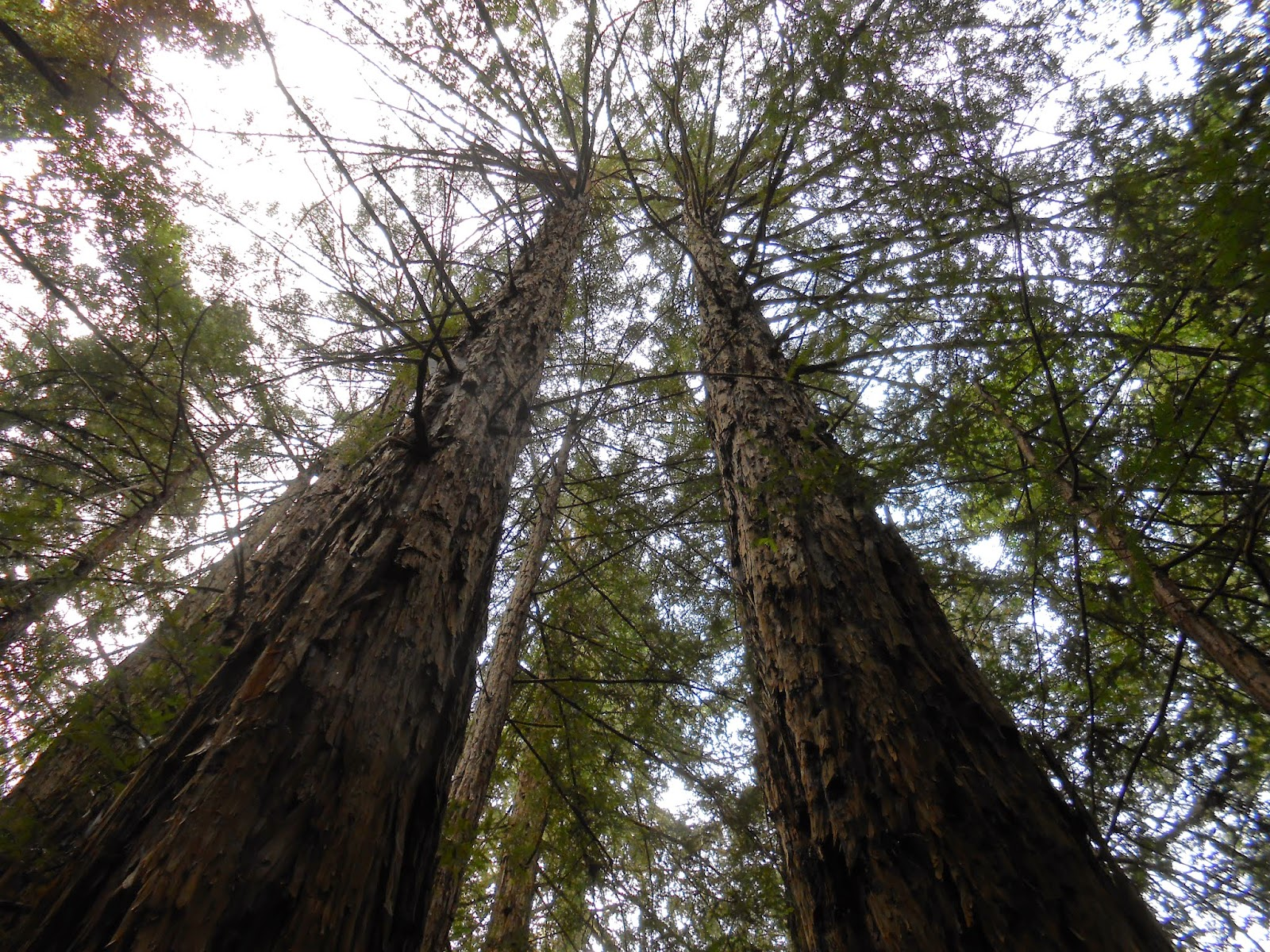 spiritual union, spiritual awakening, spirituality, image, nature photo, redwoods trees photo,