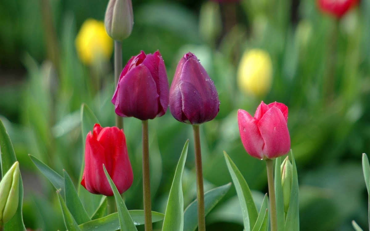 Beautiful Tulip Widescreen HD Wallpaper 4