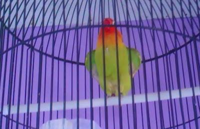 cara mengatasi lovebird ngekek buka sayap saat di gantang