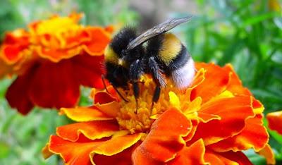 Bumblebee photographs