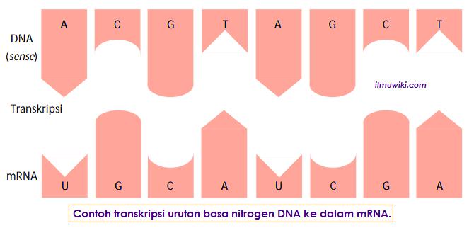 Contoh transkripsi urutan basa nitrogen DNA ke dalam mRNA.