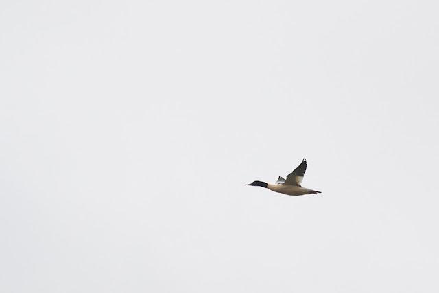 Male Goosander in Flight