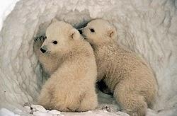 beruang setia terhadap pasangannya