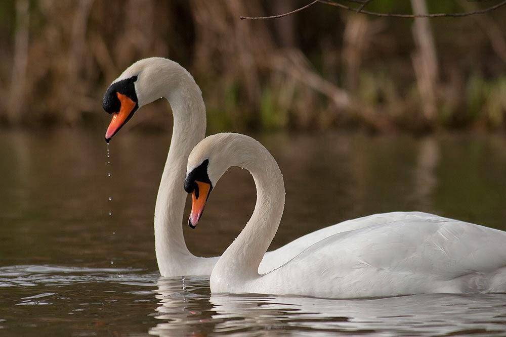 Synchronised Mute Swan dancing, Lodge Lake, Milton Keynes