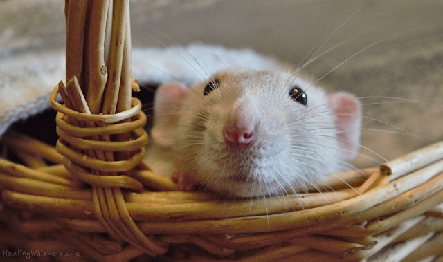 Oliver the Therapy Rat in a Basket