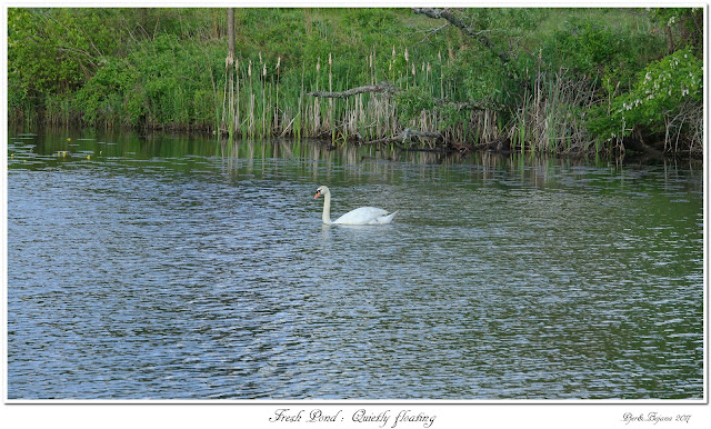Fresh Pond: Quietly floating