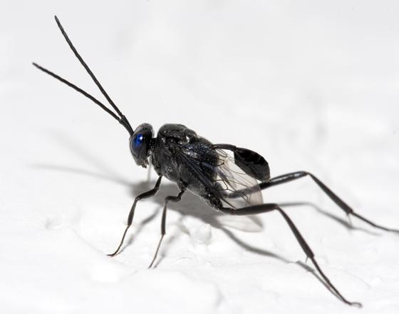 Fobia a las cucarachas - Página 7 Evania%2B3