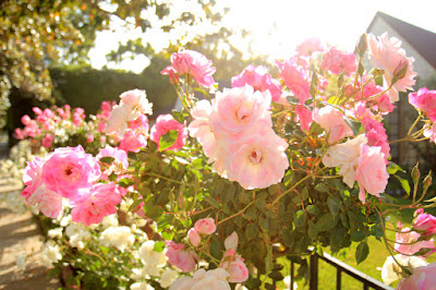 Pink Roses in Pacific Palisades - Flower Photography by Mademoiselle Mermaid
