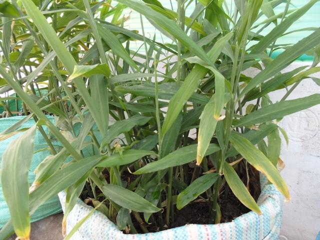 Cách trồng gừng và kinh nghiệm trồng củ gừng