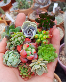 Colourful succulent cuttings propagation