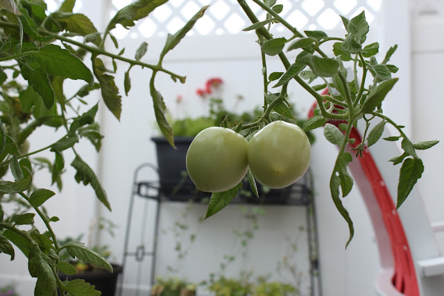 Tomatoes on the vine // www.thejoyblog.net