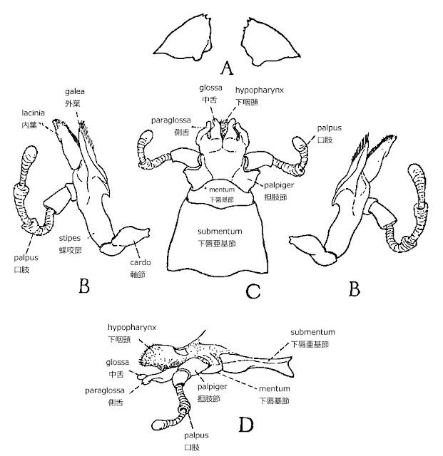 ミツバチの解剖学 The Anatomy of The Honey Bee