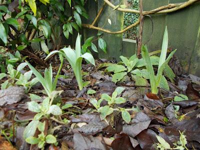 Allium nigrum Green Fingered Blog