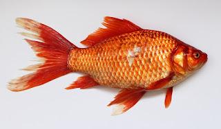 umpan ikan tombro babon