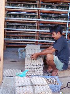 harga kontrak telur puyuh kemitraan