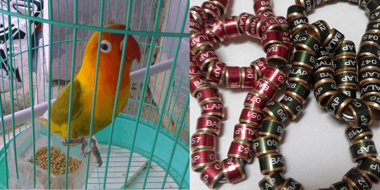 merupakan asesoris penting bagi burung kicauan Tips Membedakan Ring Burung Asli dengan Ring Palsu