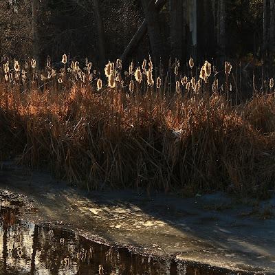 Cattails from the Refuge