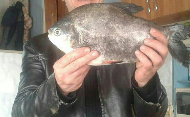 В Астраханской области рыбак вытащил из реки рыбу «паку»