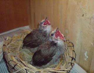 Burung Cucak Rowo Indukan Untuk Penangkaran - Kreteria Indukan yang Harus Terpenuhi Untuk Burung Cucak Rowo yang Akan Di tangkarkan