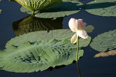 Nelumbo nucifera Floare de Lotus flower Lotosblume fiorediloto