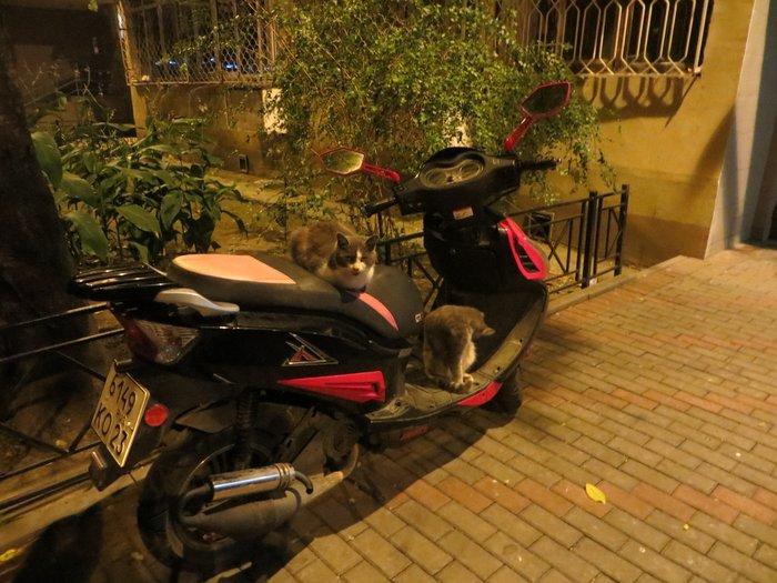 две кошки на скутере