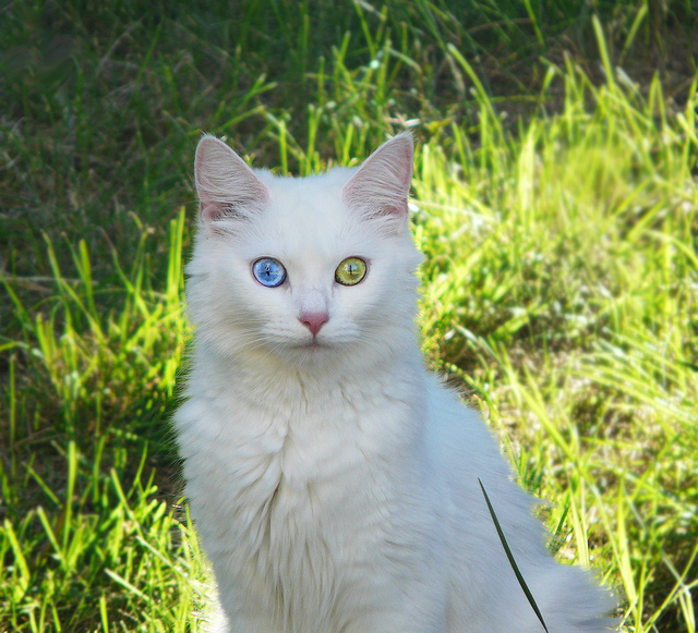 3e149c624fb178 ... are the Turkish Van and Angora. The odd-eyed cats tend to be white or  mostly white and with one normal eye and one blue eye – altogether very  striking.