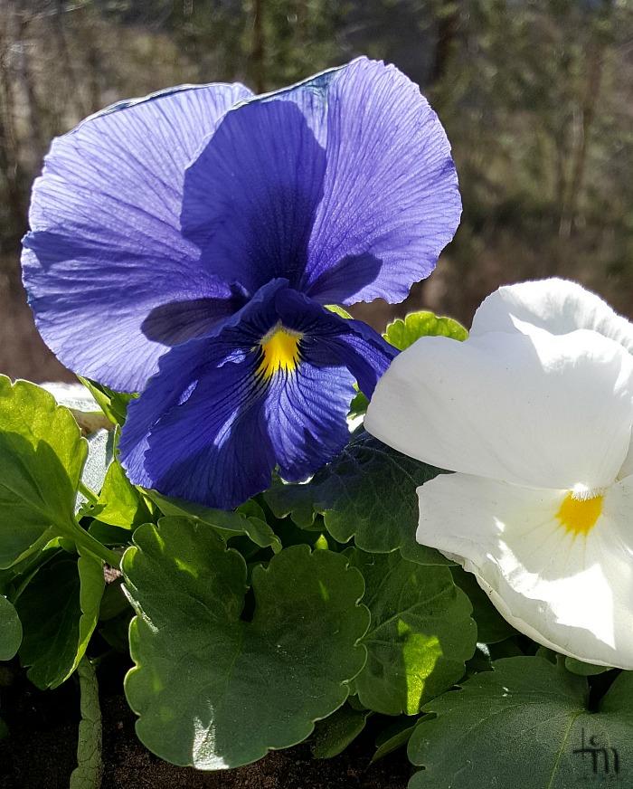 sininen ja valkoinen orvokki