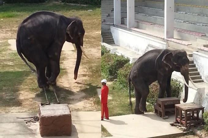 Gajah kurus kering,  dipaksa buat aksi sarkas untuk hiburkan penonton
