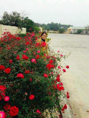 cây hoa hồng công trình hoa hồng quế đơn thích hợp trồng tại công viên