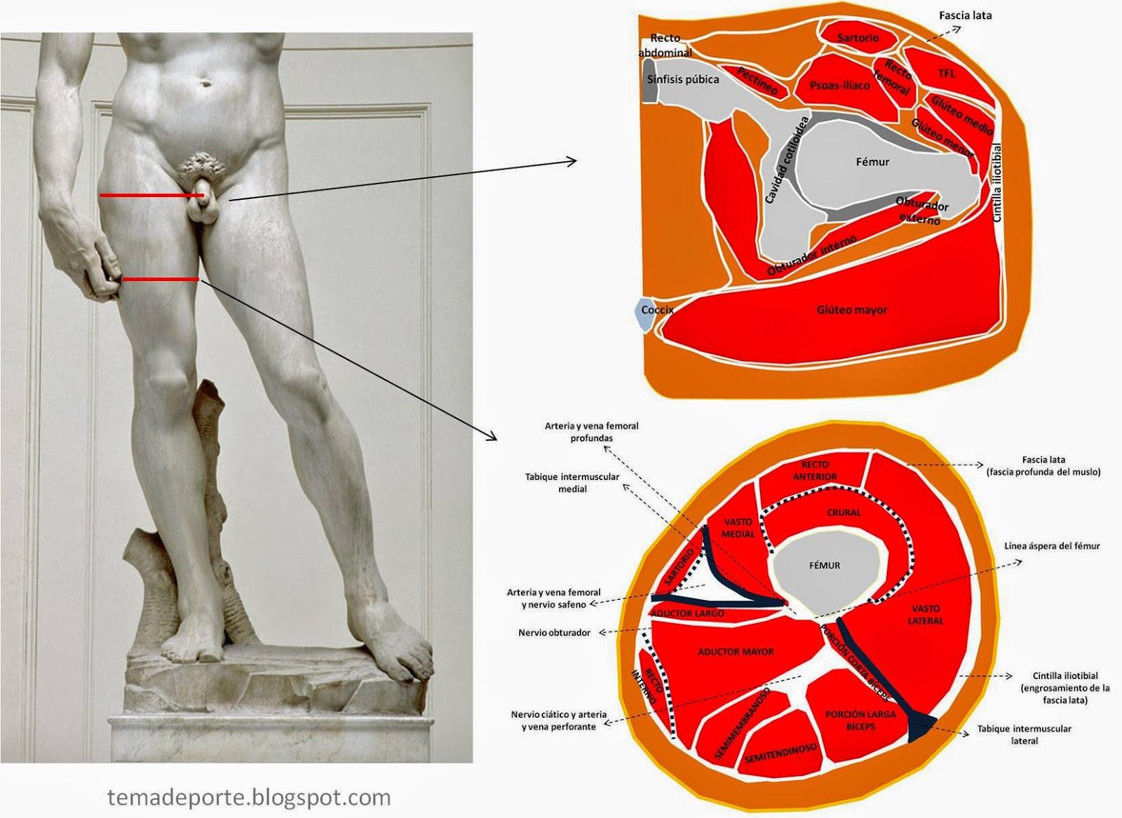 Lujo Mri Anatomía Del Muslo Fotos - Imágenes de Anatomía Humana ...