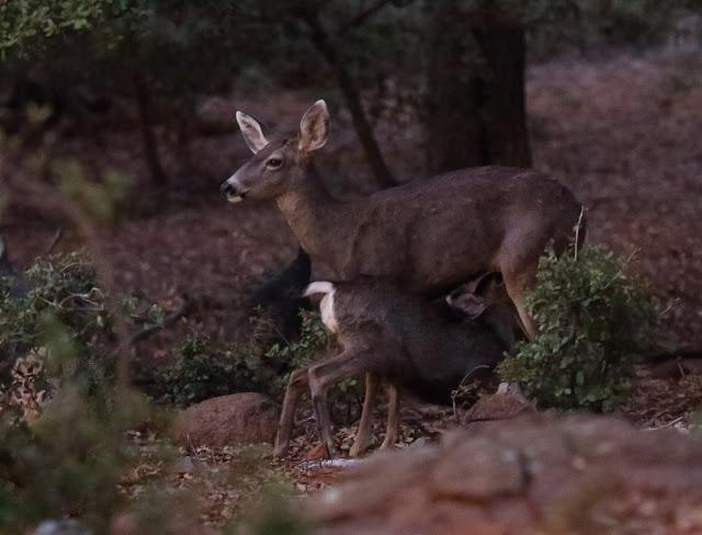 Nursing Deer