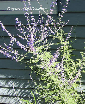 Cottage Garden - Russian Sage