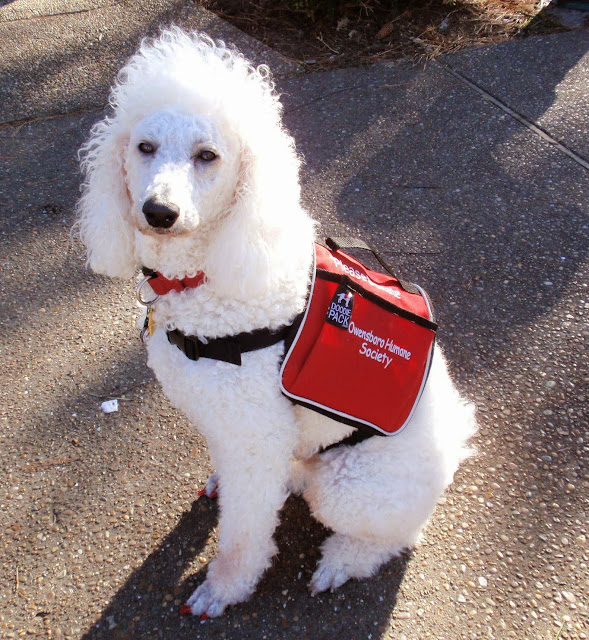 #standardpoodle in vest