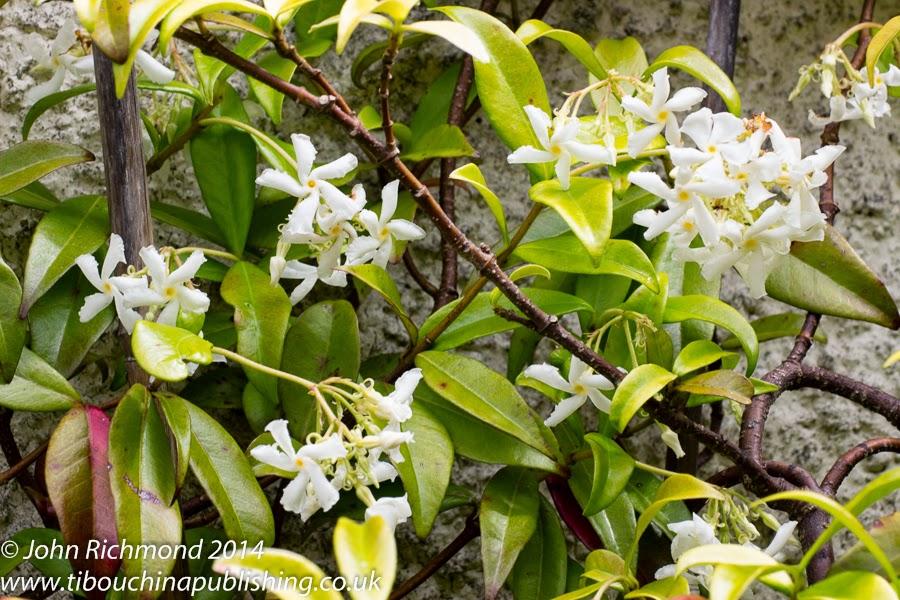 trachelospermum jasminoides kaufen