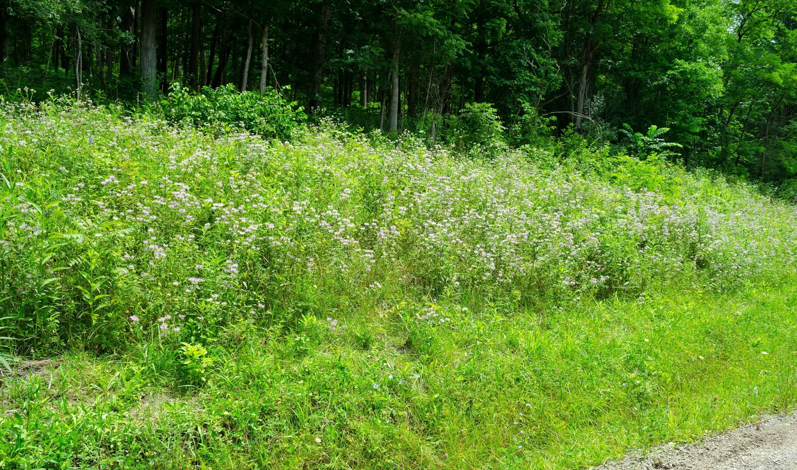 Wild Bergamot Ohio