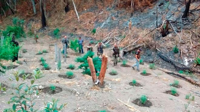 54ª CIPM destrói plantação com 5 mil pés de maconha em fazenda do norte da Bahia