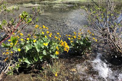 [Ranunculaceae] Caltha palustris – Water Cowslip (Caltha palustre).
