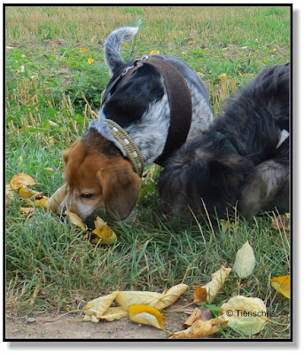 Emma und Lotte schnuppern immer zusammen. Das ist echte Nasenarbeit für einen Hund.